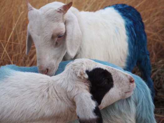 Blue Sheep dyed with Indigo